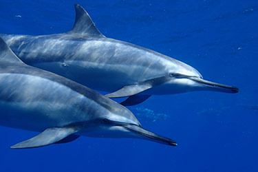 Snorkeling with Hawaiian Spinner Dolphins, Lanai